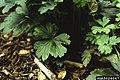 Aphelenchoides sp. (01).jpg