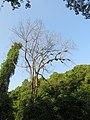 Apis dorsata - Giant honey bee on Tetrameles nudiflora on Makuta Virajpet road (18).jpg
