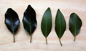 Apodytes dimidiata - Leaves