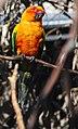 Aratinga solstitialis -Sun Conure -in tree.jpg