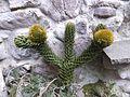 Araucaria araucana cone, cultivated, Italy.jpg