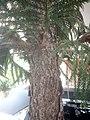 Araucaria columnaris, Coral Reef Araucaria tree at Amravati, Maharashtra, India5.jpg
