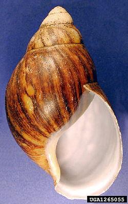 Archachatina marginata shell.jpg