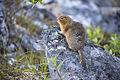 Arctic Ground Squirrel (4) - Spermophilus parryii (20861769923).jpg