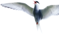 Arctic tern edited by K Abdelhamid.png