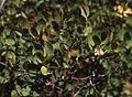 Arctostaphylos glandulosa.jpg