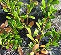 Arctostaphylos uva-ursi.jpg