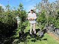 Ardisia Escallonioides (Marlberry) Bush (28844056426).jpg