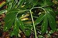Arisaema dracontium 5zz.jpg