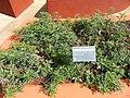 Artemisia vulgaris - Jardim Botânico de Brasília - DSC09657.JPG