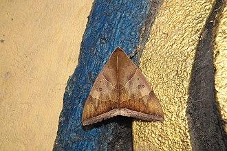 Artena (moth) - Artena dotata at Sabarimala