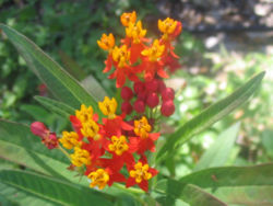 meaning of asclepias