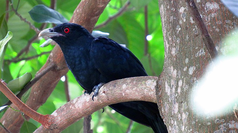 File:Asian koel (male) - Sri Lanka - 01.jpg