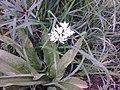 Asparagales - Allium ursinum - 004.jpg