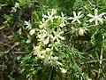 Asparagus suaveolens, b, Schanskop.jpg