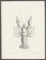 Astacus trowbridgii - - Print - Iconographia Zoologica - Special Collections University of Amsterdam - UBAINV0274 097 01 0011.tif