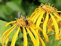 Asteraceae sp.-IMG 6107.jpg