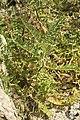 Astragalus boeticus-3253.jpg
