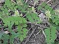 Astragalus glycyphyllos RF.jpg
