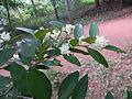 Atalantia monophylla-3.JPG