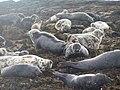 Atlantic Grey Seals on Longstone Island - geograph.org.uk - 179882.jpg