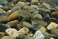 Atlantic Salmon Parr in Cobble Habitat (5198590436).jpg