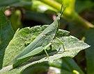 Atractomorpha crenulata at Sambisari Temple Complex, 2014-09-28 04.jpg