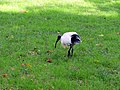 Australian White Ibis - Sydney, Australia (9533455330).jpg