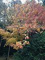 Autumn Leaves in Ryoanji Temple 2.jpg