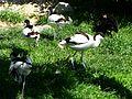 Avocettes élégantes Argelès-Gazost parc animalier.JPG