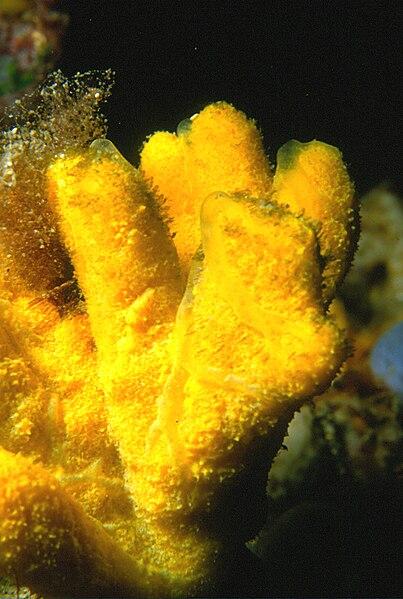 Axinella verrucosa (Esper, 1794)
