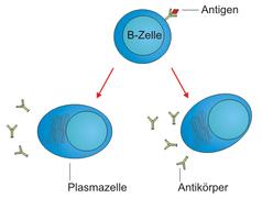 B-Zelle-Plasmazellen.png