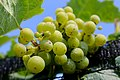 BUNCH WINE GRAPES green close up (48986980497).jpg