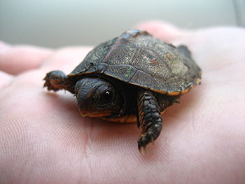 Baby turtle, species unknown.