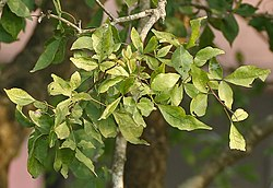 Bael (Aegle marmelos) leaves at Narendrapur W IMG 4101.jpg