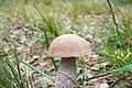 Bagno Chlebowo, fungi (leccinum).JPG