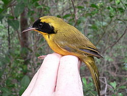 Bahama Yellowthroat (Geothlypis rostrata) held in hand, side view.jpg