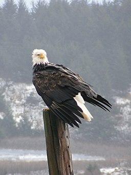 Bald Eagle, Kodiak, Alaska Ret