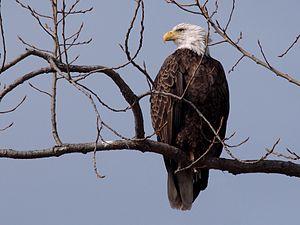 Bald Eagle-27527-9.jpg