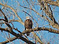 Bald Eagle-Burnsville-2006-01-15.jpg