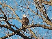 Bald Eagle-Burnsville-2006-01-15