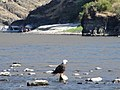 Bald Eagle in Hell's Canyon, Wallowa-Whitman National Forest (31245212334).jpg