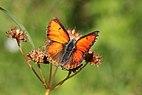 Balkan copper (Lycaena candens leonhardi) male Bulgaria.jpg