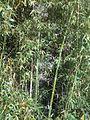 Bamboo in Tuscany Italy.jpg