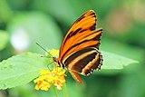 Banded orange heliconian (Dryadula phaetusa) male underside.jpg