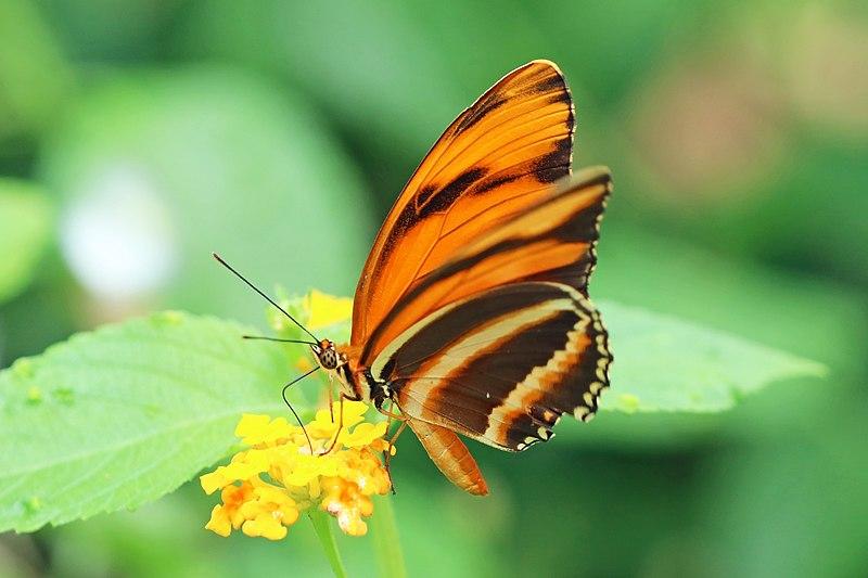 Bộ sưu tập cánh vẩy 4 - Page 46 800px-Banded_orange_heliconian_%28Dryadula_phaetusa%29_male_underside