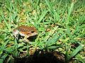 Banjo Frog (Limnodynastes dumerili) (8237237370).jpg