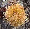 Banksia sphaerocarpa caesia Bendering.jpg