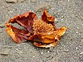 Baobab (Adansonia digitata) old flower (11887305325).jpg