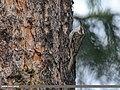 Bar-tailed Tree-creeper (Certhia himalayana) (46563207881).jpg